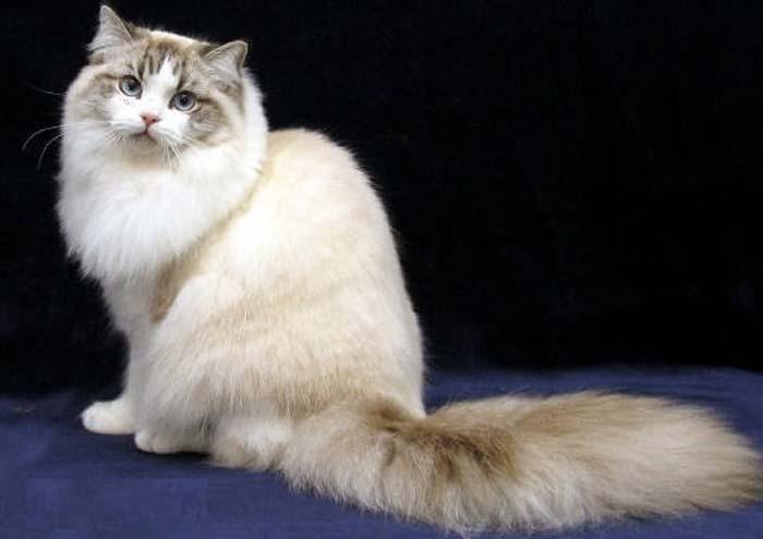 Кот рагамаффин