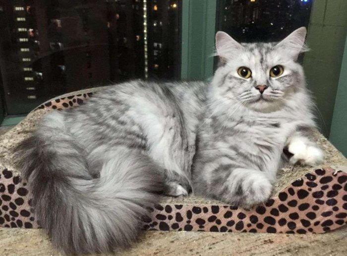 Серый кот рагамаффин