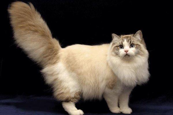 Красивый кот рагамаффин