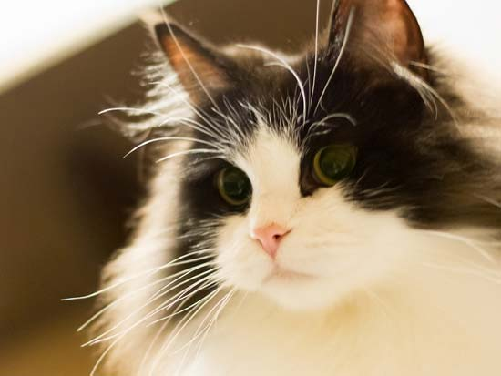 Бело-черная кошка
