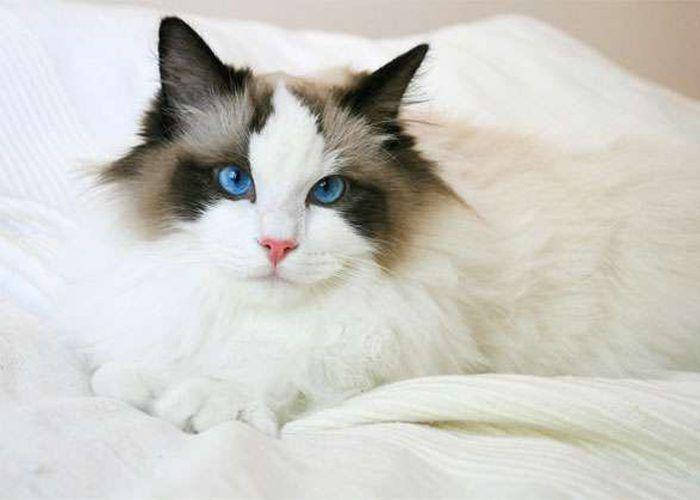 Голубые глаза у рэгдолла
