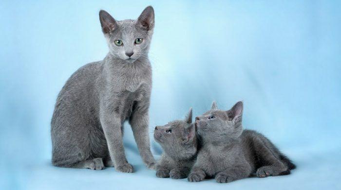 Кошка и котята породы русская голубая