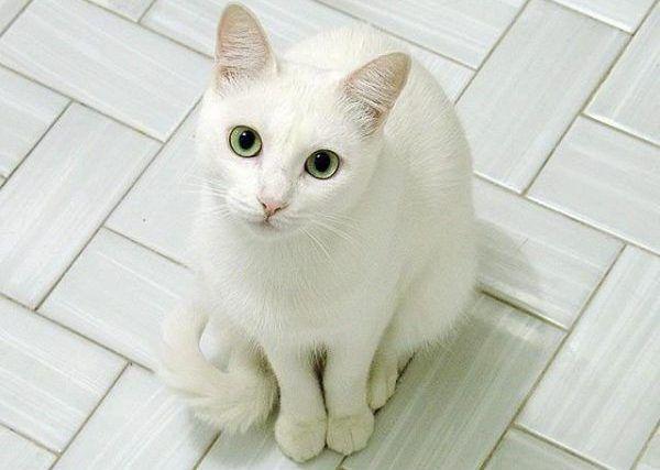 Русская белая