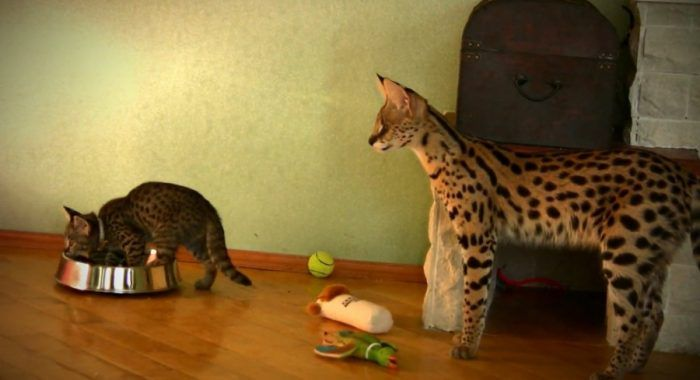 Кошка и котенок породы саванна