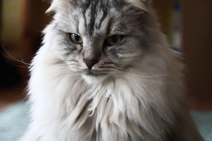Серый сибирский кот