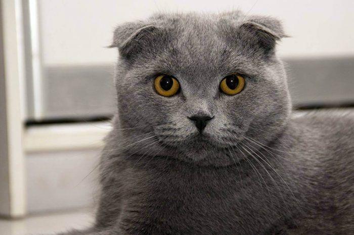 Шотландский вислоухий котенок черный