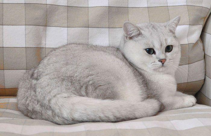 Кот породы британская шиншилла
