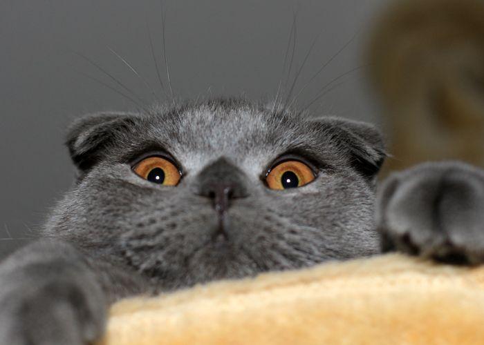 Фотографии шотландских вислоухих котов