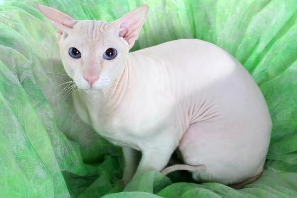 Голый кот