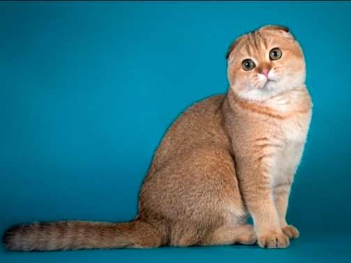 Шиншилловый оттенок у кошки