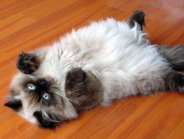 Сиамский кот длинношерстный