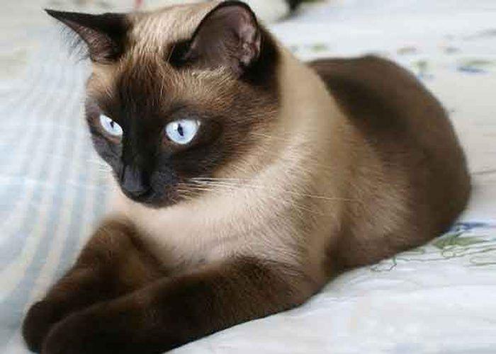 Игривый сиамский кот