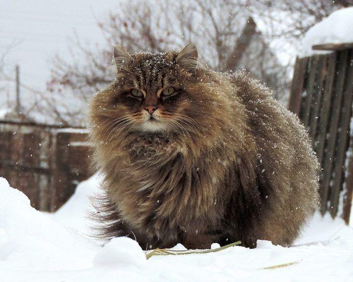Мощный кот