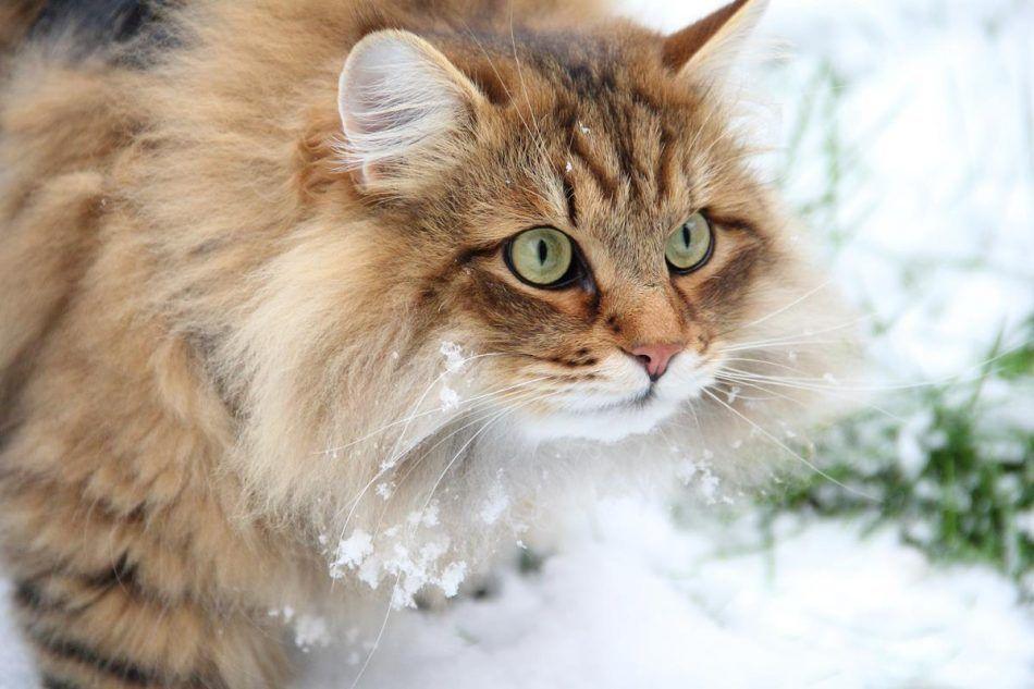 бошца сибирские коты картинки дмитрий лишь