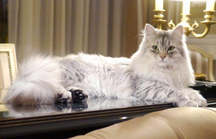 Сибирская кошка с полосами на лице