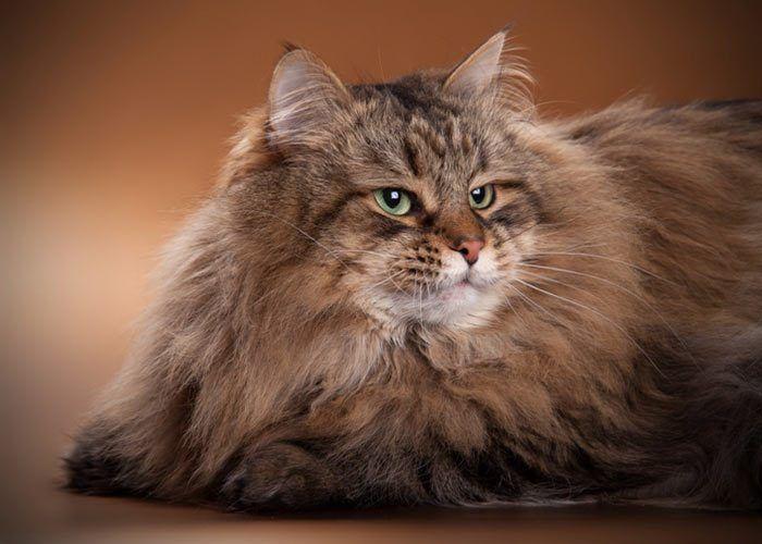 Пушистый полосатый кот