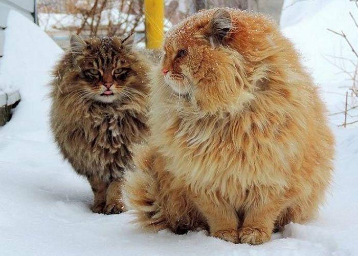 Сибирская порода