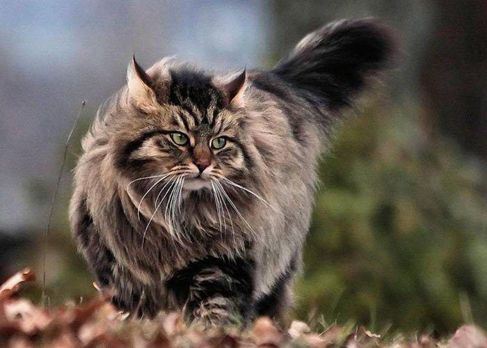 Шикарный кот