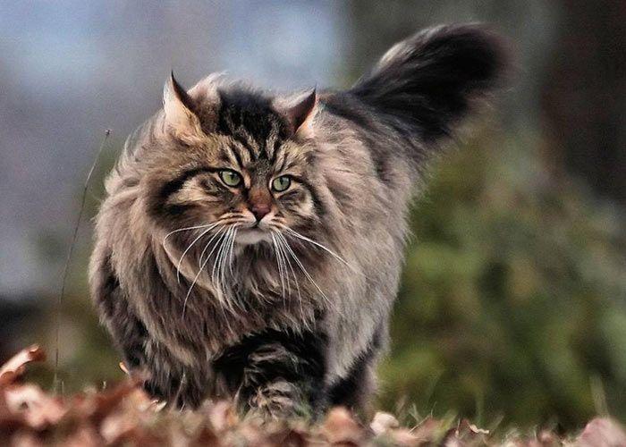 Кошки с круглой мордочкой порода thumbnail