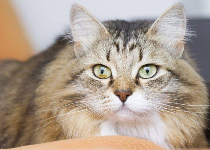 Сибирская кошка внимательна