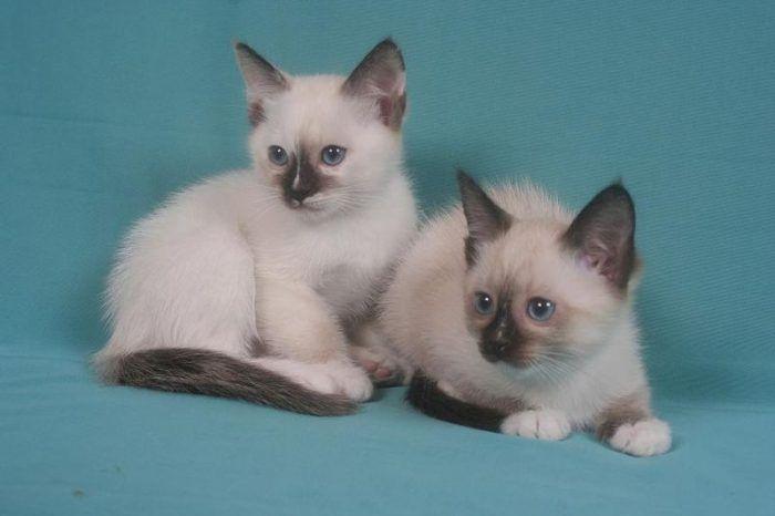 Котята породы сноу-шу