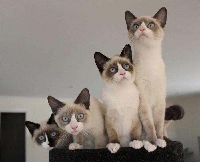 Котики сноу шу