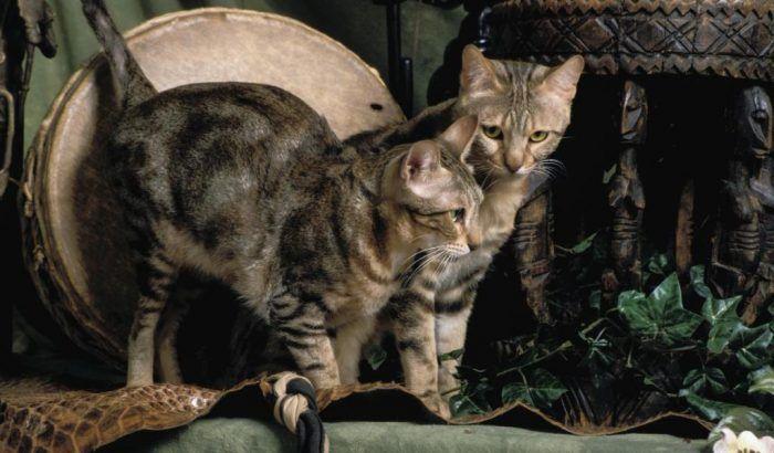 Две кошки сококе