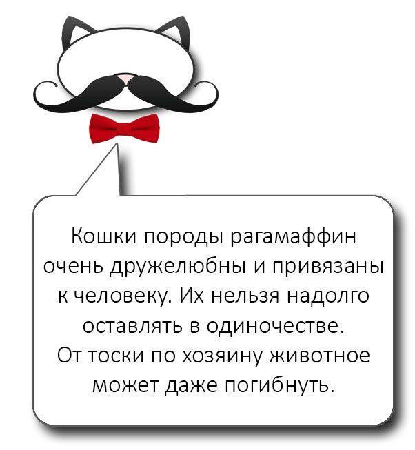 Кошки породы гарамаффин отличаются дружелюбием