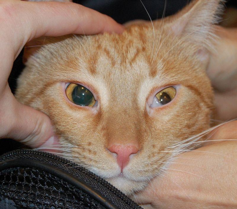 Травма глаза кошачьими когтями - Питомник GALA-CAT