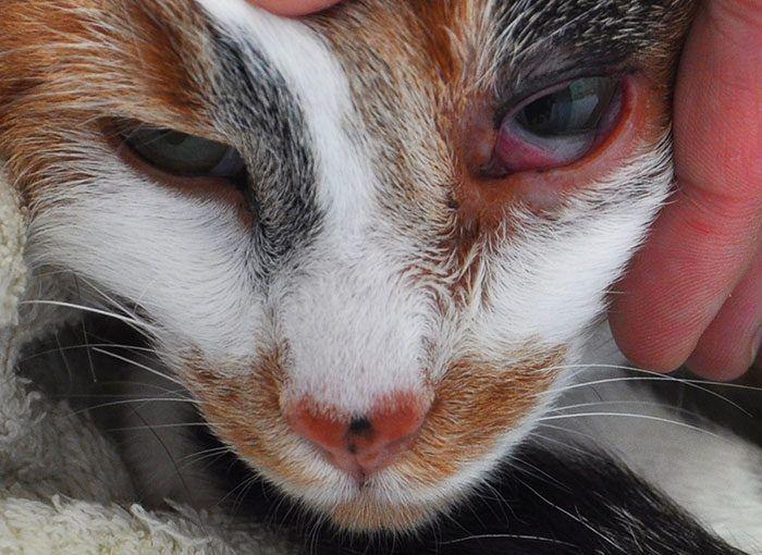 У кота воспалился глаз из-за хламидиоза