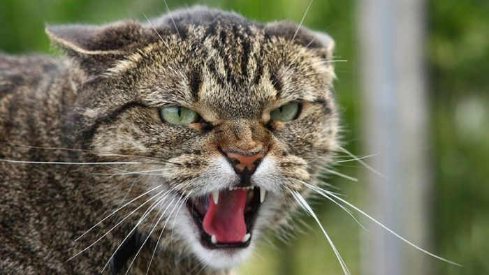 Злой котяра