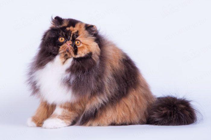 Бывают ли коты 3 х цветными