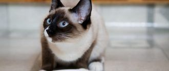 Голубоглазый сиамский кот