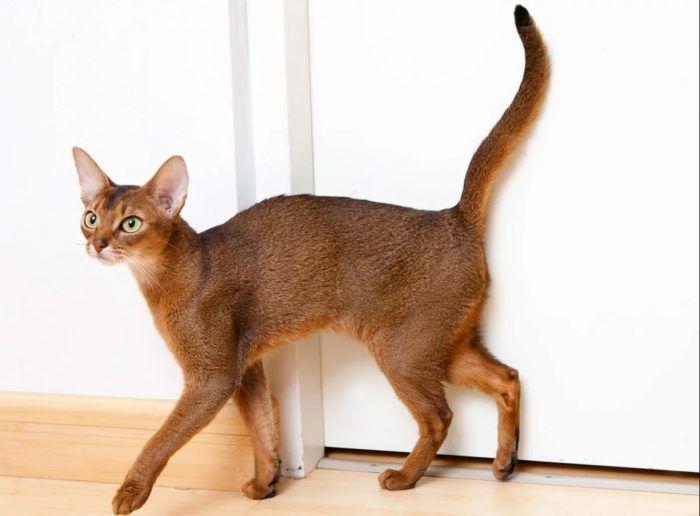 Абиссинская кошка играет