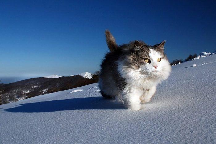 Аляскинский снежный кот