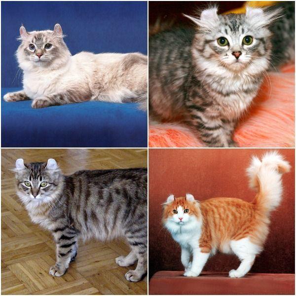 Коты американский керл