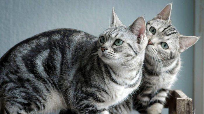 Два американских кота