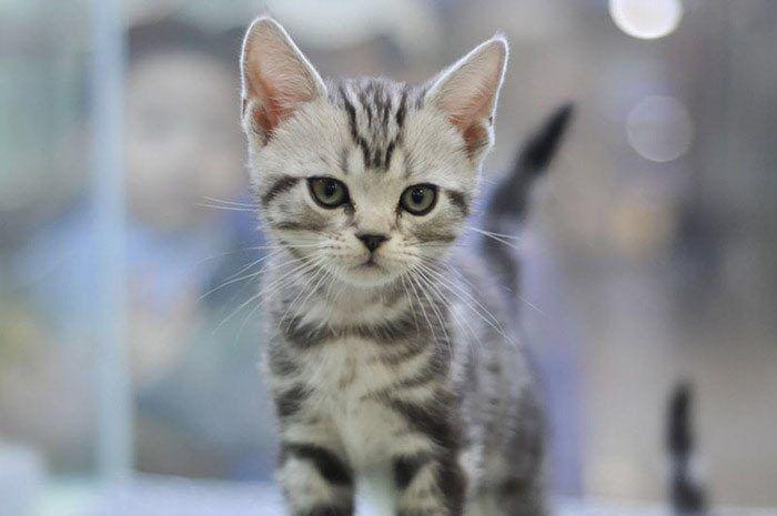 Американский короткошерстный котенок