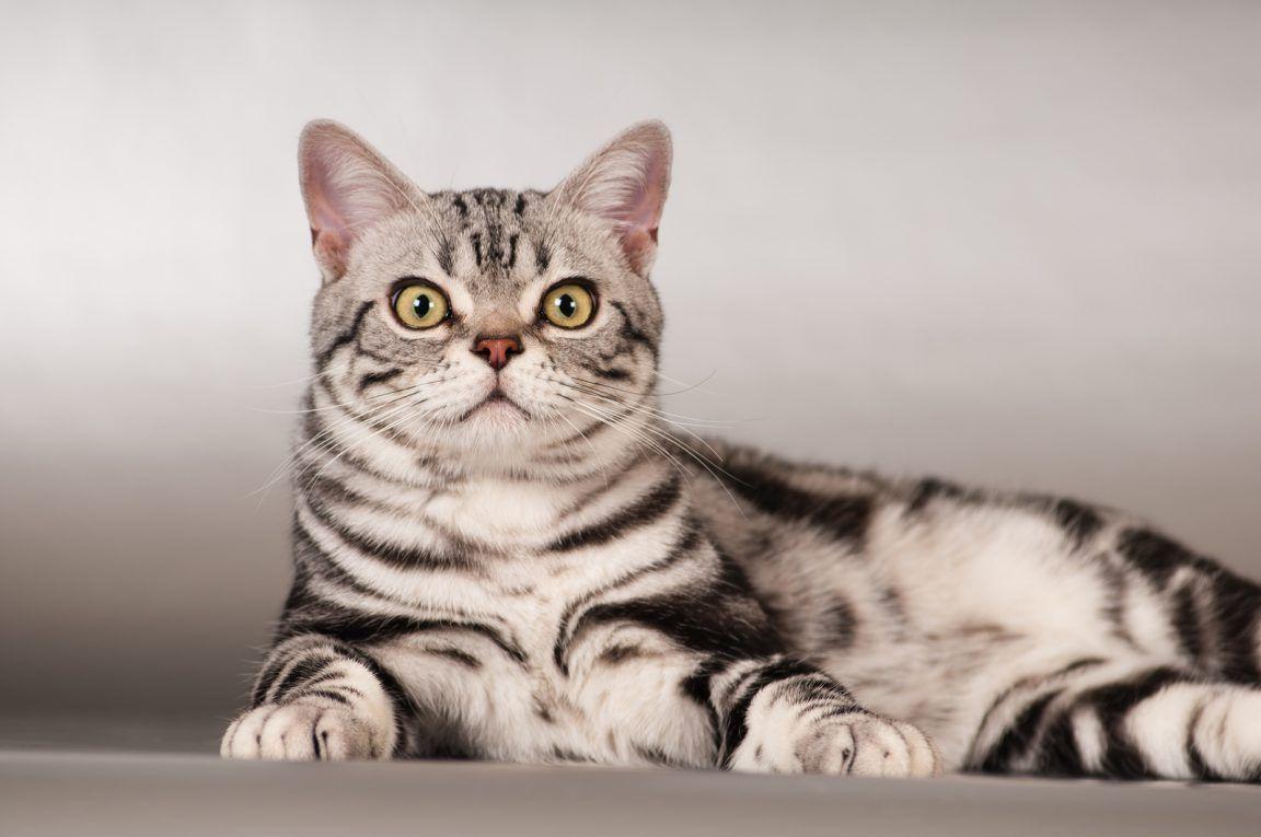 Серая американская кошка