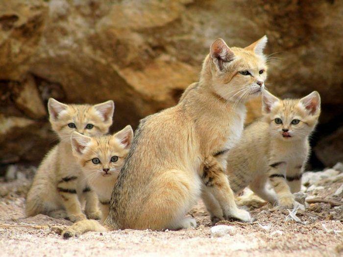 Барханная кошка с котятами