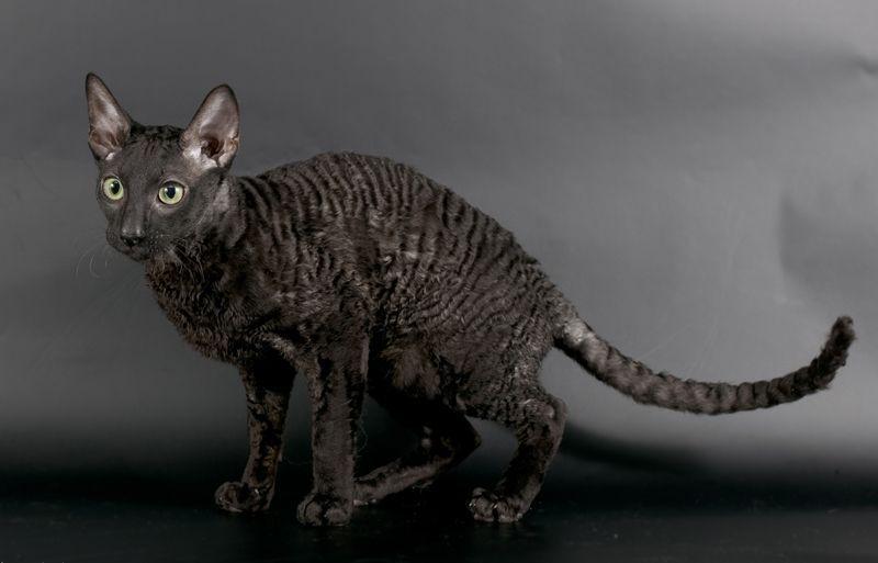 Девон-рекс - порода с уникальным внешним видом :: Коктейль новостей из мира  зверей   513x800