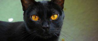 Кот с рыжими глазами
