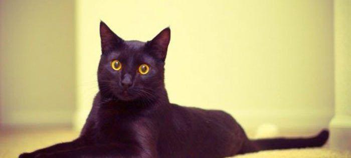 Иссиня черная кошка