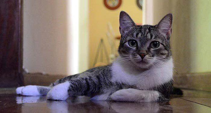 Бразильская кошка с белым