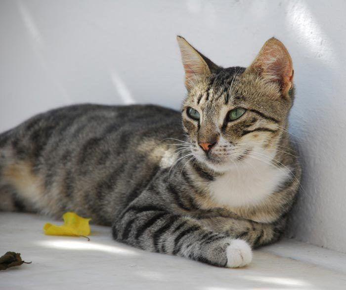 Кошка бразильская