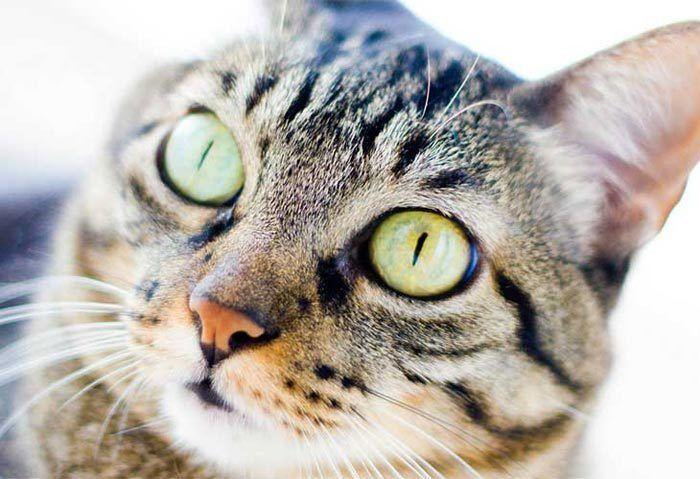 Фас кота с большими глазами