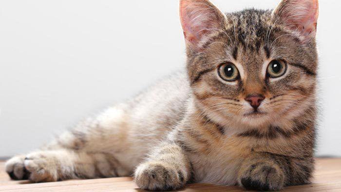 Полосатый бразильский котенок
