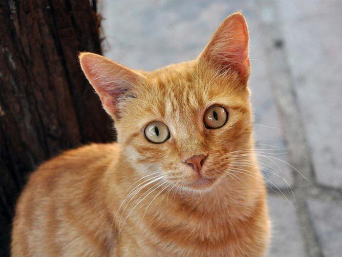 Рыжая бразильская кошка