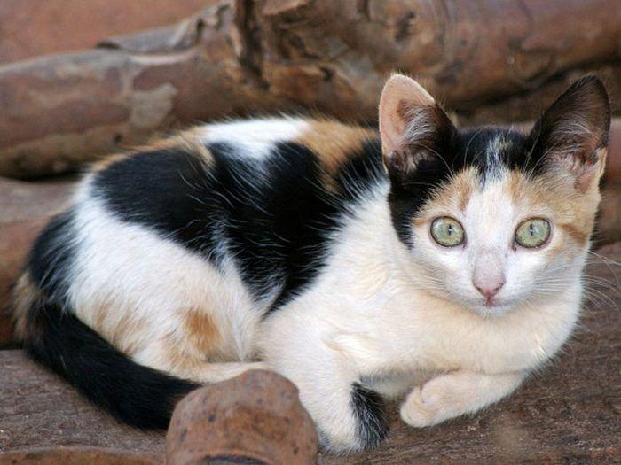 Бразильский котенок на диване