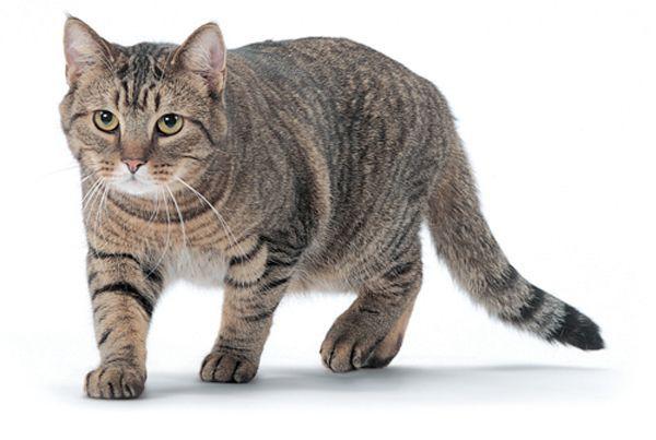 Кошка шагает